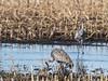 IMGPJ35049_Fk - Jasper Pulaski State Wildlife Refuge - Sandhill Crane (David L. Black) Tags: sandhillcranes jasperpulaskiwildliferefuge olympusomdem1mkii olympus300f4014xtc