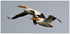 Wingman (Sun~Lover) Tags: white pelicans flying migration spring 2018 cookcounty illinois maplelake american wingman flight wings pelecanuserythrorhynchos squadron pod borealbird
