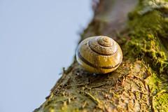 ... Schnecke.snail.chillen ... (Kurt Schmäh) Tags: 18300mm allemagne ast braun brown deutschland garden garten germany green grün kirchhorst limb lowersaxony macro makro niedersachsen nikon nikonphotography outdoor schnecke snail sonne sun