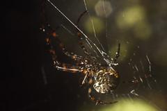 Arañas (Macro) (Gercoja) Tags: macro tubos extensión análogo armenia quindio colombia telaraña colores spider photography naturaleza