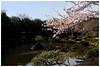 櫻花盛放   Cherry blossoms (Alice 2018) Tags: sony sonyepz1650mmf3556oss sonynex5r blue plant 2017 korea asia flower cherry blossom jinju spring