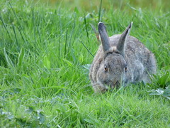 Wild Rabbit (LouisaHocking) Tags: wild wildlife rabbit nature british cardiff forestfarm mammal