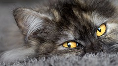 Jewels... (ChusPS) Tags: cat animal eyes pet beauty nikon d7100 tamron90mm color light portrait home siesta happy