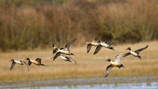 Canards pilet - Anas acuta - Northern Pintail