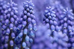 .the grape hyacinth. (allyson.marie) Tags: bunches delicate love spring bell tiny purple flower grapehyacinth