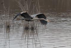 HuntleyMeadows_Heron-2 (Lo8i) Tags: huntleymeadows odc bird birdsofafeather flight heron
