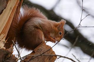 Ein Eichhörnchen (Sciurus vulgaris) wärmt seine kalten Pfödchen