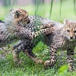 Cheetah cubs running after each other thumbnail