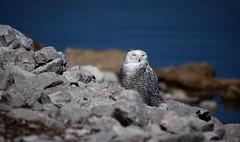 Snowy Owl (female) (Rick Lanting) Tags: snowyowl owl muskegon bird pentaxart