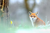 Red Fox (Benjamin Joseph Andrew) Tags: winter mammal snow snowing cold cool frozen freezing daffodil spring looking inquisitive alert