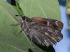 Carcharodus floccifera - Tufted marbled skipper - Толстоголовка шандровая (Cossus) Tags: 2012 carcharodus hesperiidae pyrginae пестово толстоголовка skipper
