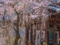 Weeping cherry tree (dayonkaede) Tags: spring cherry blossoms season flower nature weeping tree olympus em1markii m40150mm f28 mc14 temple abell