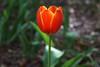 More Tulip Fever (Shutter_Hand) Tags: texas usa miguelmendozamuñoz clarkgardens botanicalpark weatherford mineralwells secretgarden parquebotánico jardinbotánico botanico jardin jardinsecreto texasgem texasjewel lenscraft sonyaf100mmf28macro macro sony alpha a99 sonyalphaa99 slta99 flor flora flower blume fiore fleur फूल цветок 꽃 kukka çiçek 花 blomma tulip tulipán