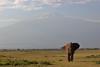 The two giants (Kaïyah) Tags: mammal endangered elephant solitary mountain vulcano kilimandjaro amboseli park reserve kenya africa sky landscape snow grass plain