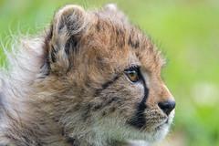 Profile of a cheetah cub (Tambako the Jaguar) Tags: cheetah big wild cat cub young baby cute profile portrait face close attentive basel zoo zolli switzerland nikon d5