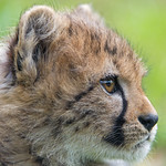 Profile of a cheetah cub thumbnail