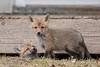 All clear out there? (rdroniuk) Tags: animals fox wildlife mammals redfox foxkit redfoxkit kit vulpes animaux renard renardroux renareaux