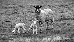 Dream Makers..... in training (nige.cox61) Tags: dream flickrfriday ewe lamb twins fields sleep night counting