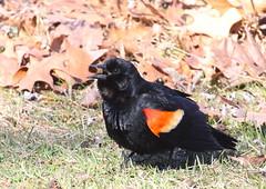 Red-winged Blackbird at Verona Park (Tombo Pixels) Tags: veronapark180067 redwingedblackbird bird veronapark nj newjersey twb1 audubonwalk