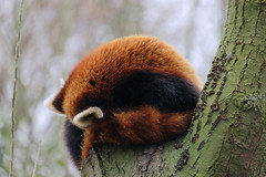 Firefox (tomivek) Tags: firefox red panda amsterdam zoo fujifilm xt10 xf55200 rawtherapee