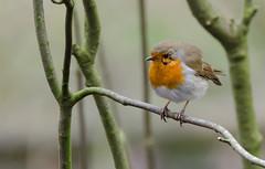 Rufford Robin 2 (jlc pics) Tags: robin red rufford park bird birds nature countryside nikon nottinghamshire d7000 sigma 150600mm raw