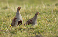 Patrijs - Perdix perdix - Grey Partridge (merijnloeve) Tags: patrijs perdix grey partridge bleiswijk bedrijventerrein prisma zh lansingerland gemeente gray snow sneeuw snowy