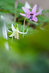 20180318-DS7_0486.jpg (d3_plus) Tags: bokeh aiafzoomnikkor80200mmf28sed d700 thesedays wildflower 日常 walking 城山 ボケ 相模原 望遠 カタクリ 自然 景色 dogtoothviolet sagamihara trekking 神奈川県 sky telephoto 山野草 風景 japan erythroniumjaponicum ニコン トレッキング nature dailyphoto ハイキング nikon nikond700 kanagawa flower nikkor shiroyama 8020028 dogtoothvioletvillage bloom 植物 80200mmf28d 散歩 80200mmf28af plant 花 scenery 80200mmf28 daily 城山かたくりの里 hiking 80200 日本 tele 80200mm かたくりの里 空