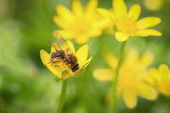 drink deep little bee! (Emma Varley) Tags: bee flowers spring yellow sunshine april westsussex uk animal insect nature colourful bright beautiful wings nectar pollen joyful lessercelandine