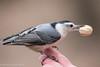 Friendly Nuthatch (rdroniuk) Tags: birds smallbirds passerines nuthatch whitebreastednuthatch sittacarolinensis oiseaux passereaux sittelleàpoitrineblanche sitelle
