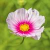 Yellow, Pink and Green! (paulapics2) Tags: cosmos flower bright pretty macro canoneos5dmarkiii canonef70300mf456lisusm 7dwf