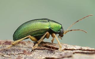 Colaspis sp. (Chrysomelidae: Eumolpinae)