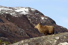 Red Deer Stag in Glen Strathfarrar (Gavin MacRae) Tags: glenstrathfarrar reddeerstag reddeer stag cervuselaphus strathglass glencannich glenaffric scottishwildlife scottishnature scottishhills scottishlandscapes highlandnature highlandwildlife highlandsofscotland highlands highlandlandscape springwildlife spring wildlife nature nikon scotland