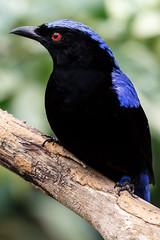 Fairy Bluebird (dpsager) Tags: bird chicago dpsagerphotography fairybluebird lincolnparkzoo zoo