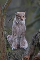 The Sentinel (The Wasp Factory) Tags: eurasianlynx lynx eurasischerluchs nordluchs luchs lynxlynx dusk dämmerung wisentgehegespringe wisentgehege springe wildlifepark wildpark tierpark