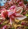 Magnolia! (GregKoren) Tags: clyburnarboretum baltimorecity maryland magnificent magnolia