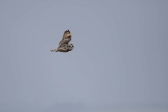 Spotted 2 (digiphill) Tags: 2018 april asioflammeus northeast northpennines northpenninesaonb northumberland shortearedowl spring