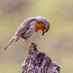 Roodborst (Luciën Reyns) Tags: pentax pentaxk1 pentaxhddfa150450mm boshutclinge bos wood animals zeeuwsvlaanderen nederland netherlands bird roodborst robin