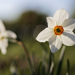 Narcissus poeticus thumbnail
