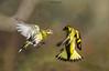 Giocando in liberta'. (Danilo Agnaioli) Tags: umbria italia natura bird lucherini collinedelperugino canon7dmarkii sigma300 inverno marzo