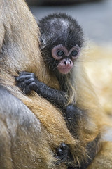 Spider monkey baby (Tambako the Jaguar) Tags: spider monkey baby young cute primate ape mother clinging together portrait basel zoo zolli switzerland nikon d5