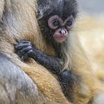 Spider monkey baby thumbnail