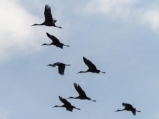 IMGPJ31890_Fk - Jackson County Indiana - Migratory Birds - Ewing Bottoms - Sandhill Cranes