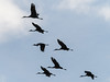 IMGPJ31890_Fk - Jackson County Indiana - Migratory Birds - Ewing Bottoms - Sandhill Cranes (David L. Black) Tags: birds sandhillcranes jacksoncountyindiana olympusomdem1mkii olympus300f4014xtc