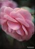 Planting Fields... (angelakanner) Tags: canon70d lensbaby velvet56 longisland plantingfields camellia greenhouse flowers