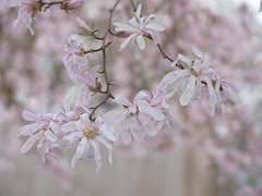 The Delightful Downward Slope (Synapped) Tags: star magnolia flower pink spring