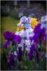 Presby iris gardens (ronnymariano) Tags: flower 2017 plants presbyirisgarden iris montclair newjersey unitedstates us garden morning color clusters colors orange purple