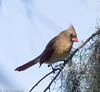 Lady in Red (11Jewels) Tags: canon 70300 cardinal bird marshrabbitrun circlebbarreserve lakelandfl