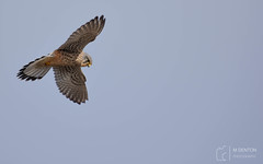 Kestrel Hovering (mikedenton19) Tags: kestrel falco tinnunculus falcotinnunculus male hover birdofprey falcon hunting staidans swillington swillingtonings nature reserve naturereserve rspb wildlife leeds yorkshire westyorkshire bird prey