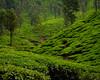 Tea Estate (S.S82) Tags: kudremukh karnataka westernghats nature landscape teaestate india ss82 landscapephotography landscapecaptures samse in