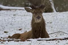 IMG_9620 (Sula Riedlinger) Tags: reddeer reddeercervuselaphus cervuselaphus deer redstag reddeerstag stag greaterlondonwildlife greaterlondon greaterlondonparkswildlife londonwildlife londonroyalparks londonparkswildlife mammal nature nationalnaturereserve surrey surreywildlife richmondpark royalparks royalpark ukwildlife uknature urbanwildlife urbannature wildlife wildlifephotography snow wildlifeinsnow